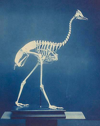 <p>Cassowary Skeleton, c. 1906, cyanotype, courtesy: Smithsonian Institution Archives</p>