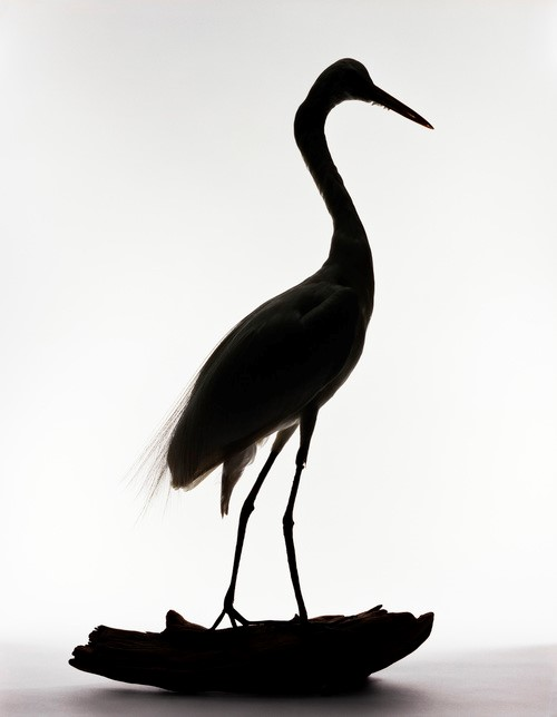 "<p><em>Great Egret, Casmerodius albus.  Brought to Block Island by Captain Alfred Jacobsen. Alighted on fishing vessel ""Friars"" at Georges Bank during a N.E. storm, April 2, 1931</em>, 2005. Pigment print, 14 x 11 inches, courtesy: Benrubi Gallery</p>"