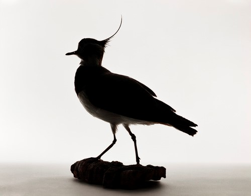 <p><em>Northern Lapwing, Vanellus vanellus. Evidently shot.  Salvaged by Thelma Tinker, November 30, 1932,</em> 2005.  Pigment  print, 11 x 14 inches, courtesy: Benrubi Gallery<em><br /> </em></p>
