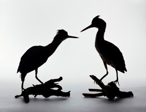 <p><em>Greenbacked herons, Butorides striatus.  Left: Immature, taken from a cat, September 23, 1944.  Right: Male, Wire victim found by Mary Elizabeth Lewis, May 18, 1944</em>, 2005.  Pigment print, 11 x 14 inches, courtesy: Benrubi Gallery</p>