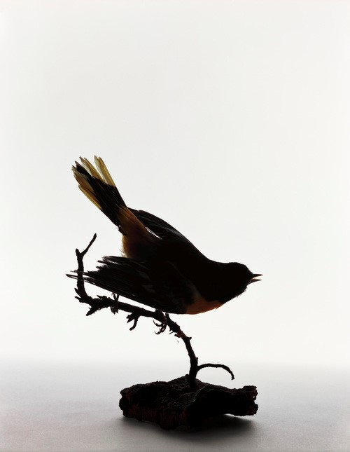 <p><em>Northern Oriole, Icterus galbula.  Taken from cat by Elizabeth Dickens, May 1, 1924</em>, 2005.  Pigment print, 14 x 11 inches, courtesy: Benrubi Gallery</p>