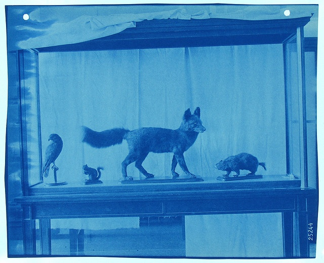 A Thomas Smillie  cyanotypes of specimens on exhibit at the Smithsonian Institution, 1890.  Courtesy: Smithsonian Institution Archives